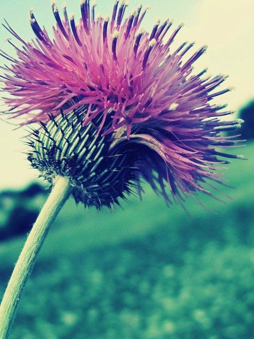 1000+ images about THISTLE, ALL THINGS THISTLE on Pinterest.