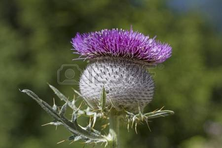 Cotton Thistle Stock Photos Images. Royalty Free Cotton Thistle.