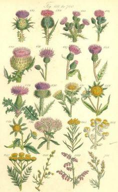 Anne Pratt Antique Botanical Print.