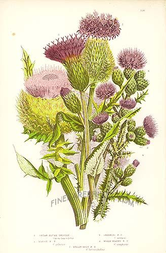 10 Best images about Thistles on Pinterest.