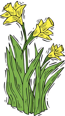 The Daffodils.