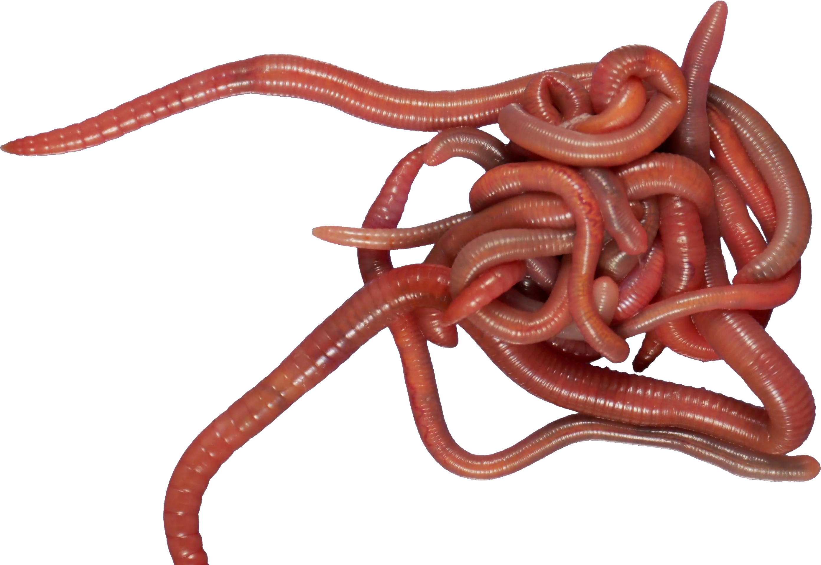 Worms PNG images free download, worm PNG.