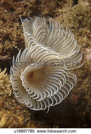 Stock Image of Feather Duster Worm (Species unknown) Babbacombe.