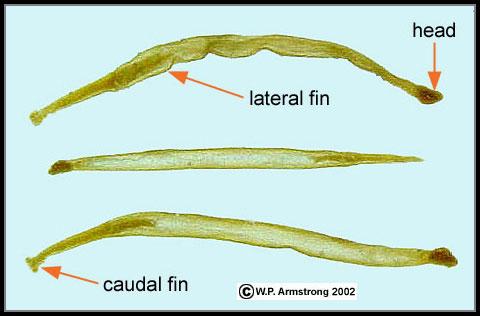 Arrow Worm Species Arrow worms (phylum.