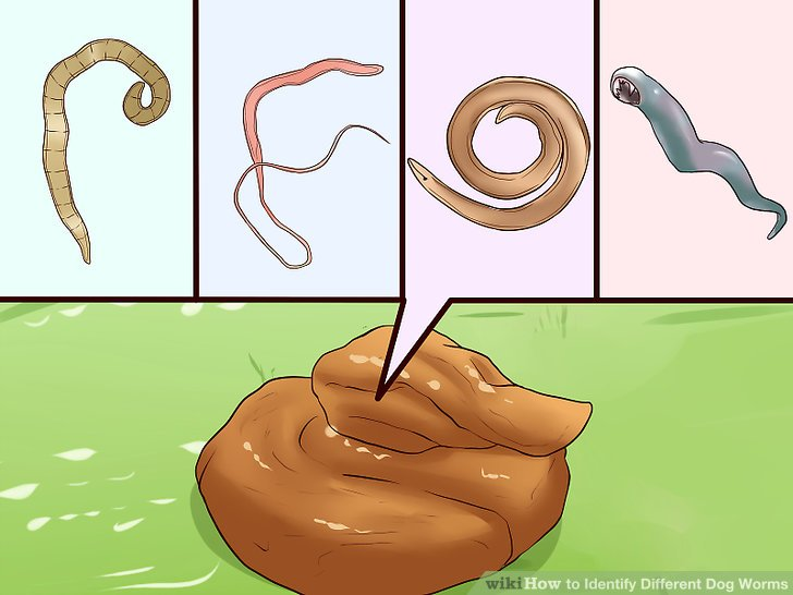 How to Identify Different Dog Worms (with Pictures).