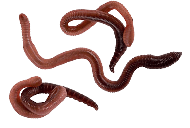 Worms Three transparent PNG.