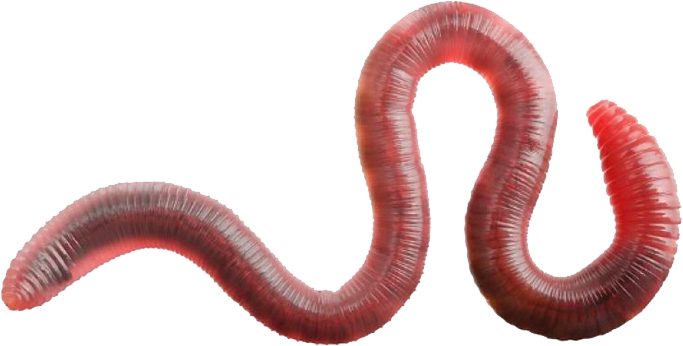 Download Free png earthworm worm PNG, Download PNG image with.