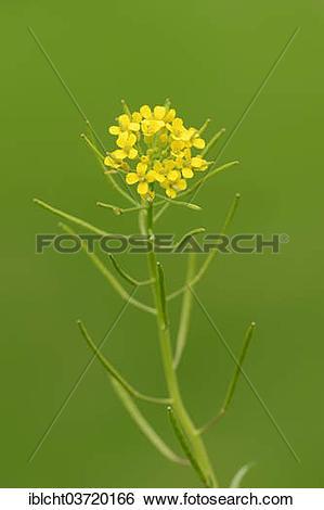 """Stock Images of """"Bittercress, Herb Barbara, Yellow Rocketcress or."""