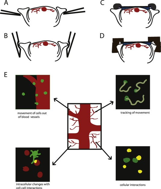 Intravital imaging of immune cells and their interactions.