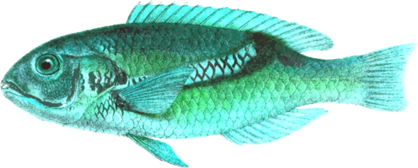 Zoster wrasse.