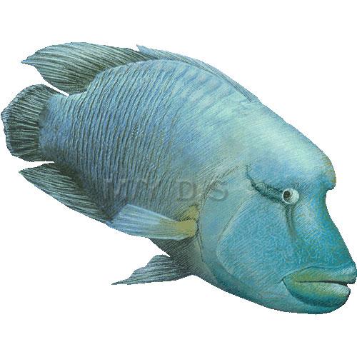 Napoleonfish, Hump.