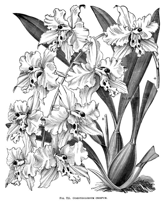 Odontoglossum Crispum, orchid clip art, black and white graphics.