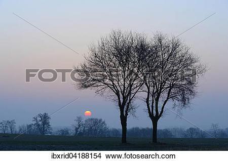 Stock Photo of Two oak trees (Quercus robur) at sunrise, Xanten.