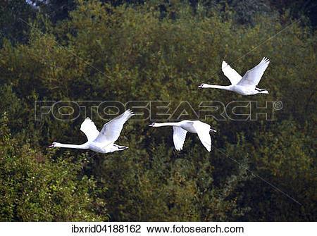 Stock Photo of Three mute swans (Cygnus olor), in flight, Xanten.