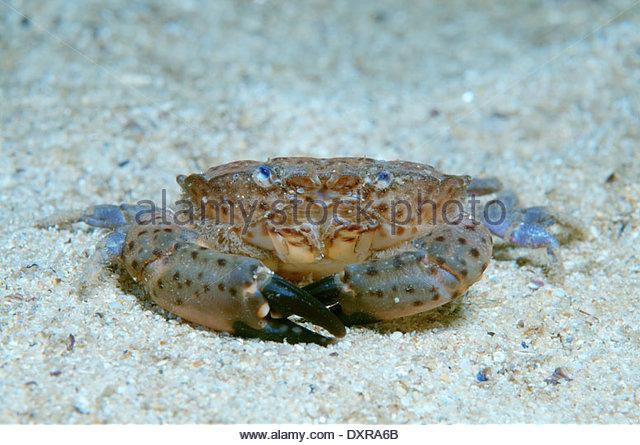 Jaguar Crab Stock Photos & Jaguar Crab Stock Images.