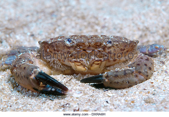 Jaguar Crab Stock Photos & Jaguar Crab Stock Images.
