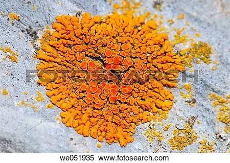 Stock Image of Lichen (Xanthoria parietina) we051935.