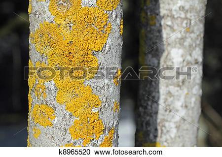 Stock Photography of Xanthoria parietina on Aspen tree k8965520.