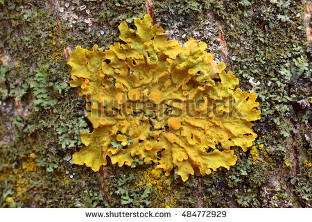 Xanthoria Stock Images, Royalty.
