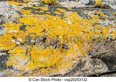 Stock Photos of Xanthoria parietina or golden shield lichen.