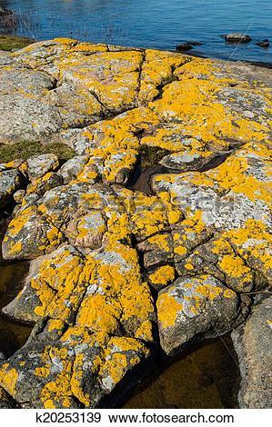 Stock Photograph of Xanthoria parietina or golden shield lichen.