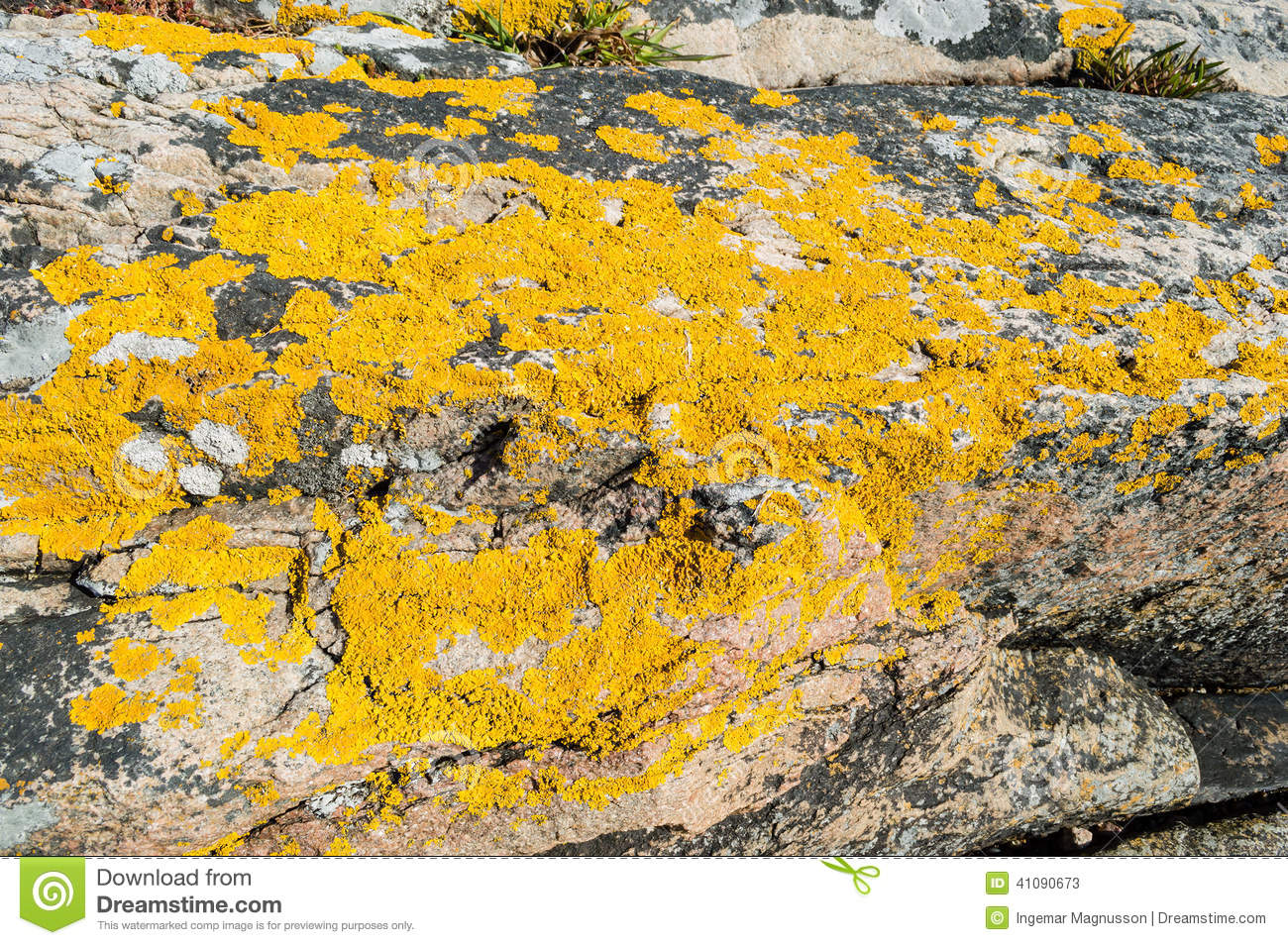 Xanthoria Parietina Or Golden Shield Lichen Stock Photo.