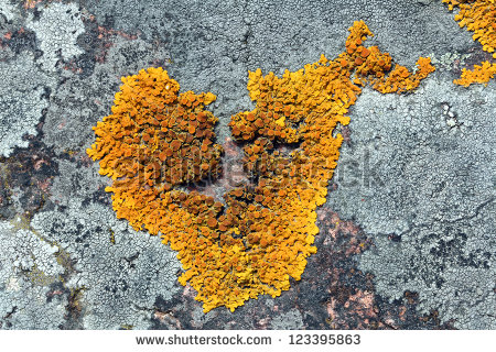 Heart Shaped Xanthoria Parietina Lichen Common Stock Photo.