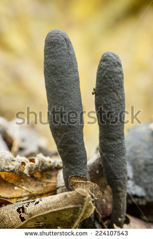 Xylaria Stock Photos, Royalty.