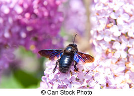 Picture of Xylocopa Macro.