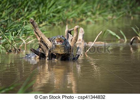 Yacare caiman clipart #13