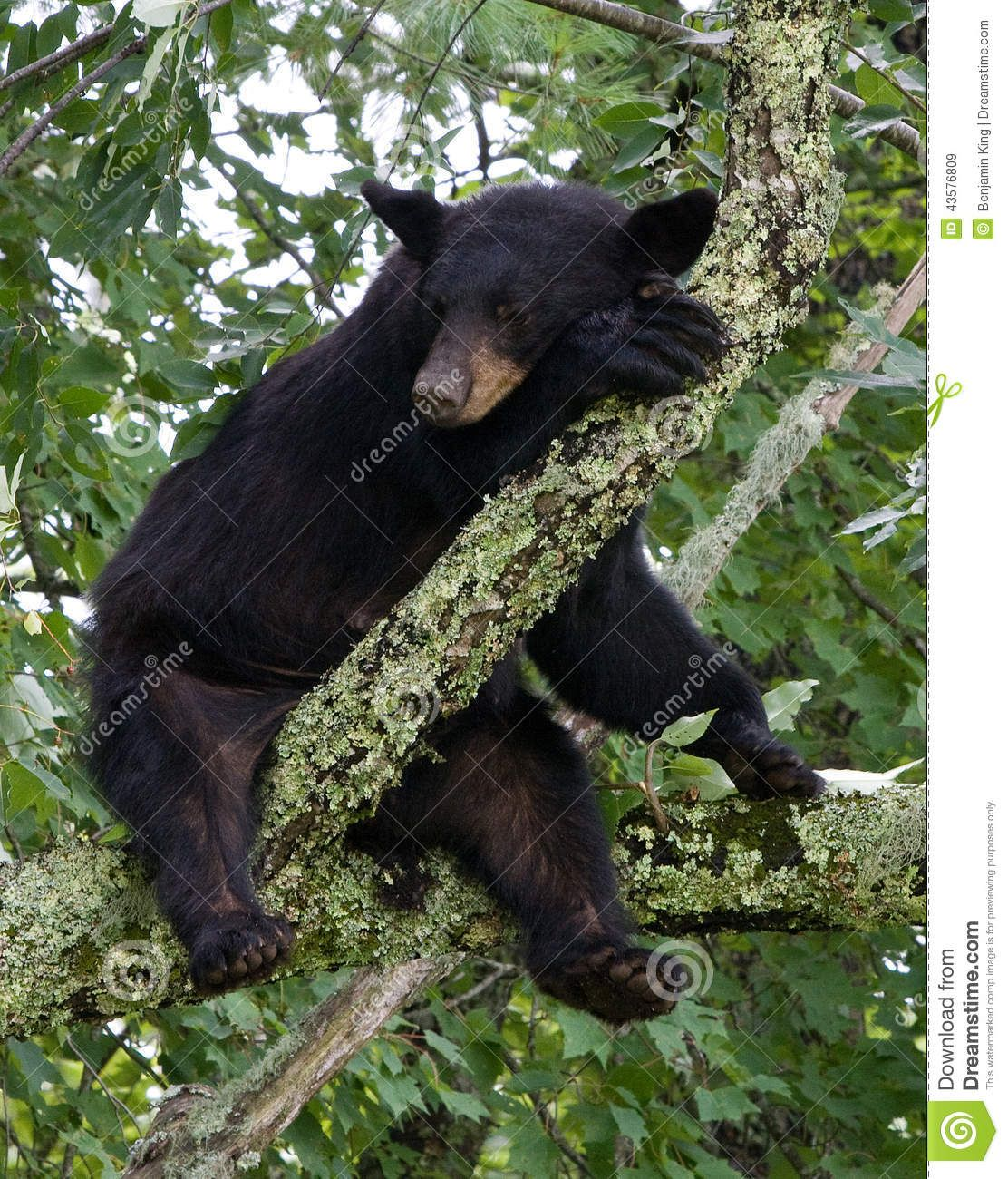 bear hanging from tree.