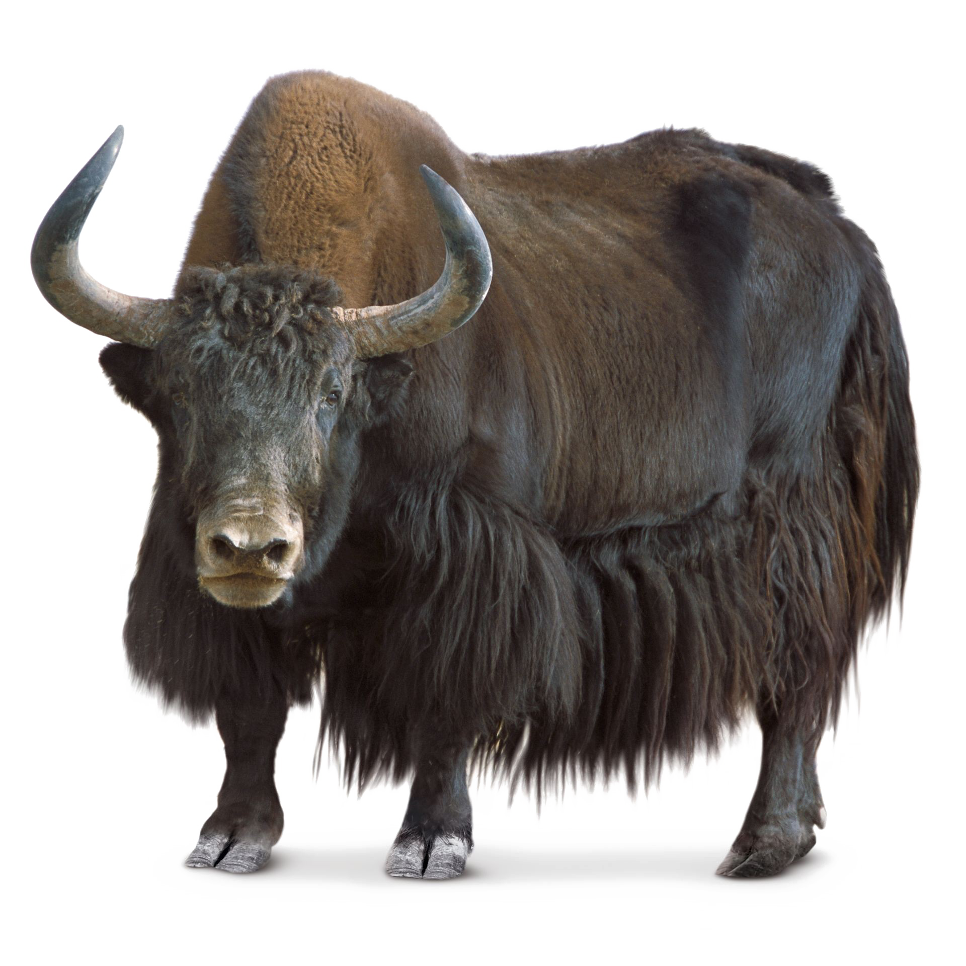 Yak PNG Transparent Images, Pictures, Photos.