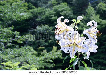 Japanese Lilium Stock Photos, Royalty.