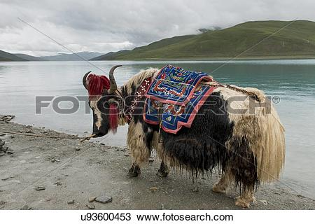 Stock Photo of Decorated Yak in front of Yamdrok Lake, Nagarze.