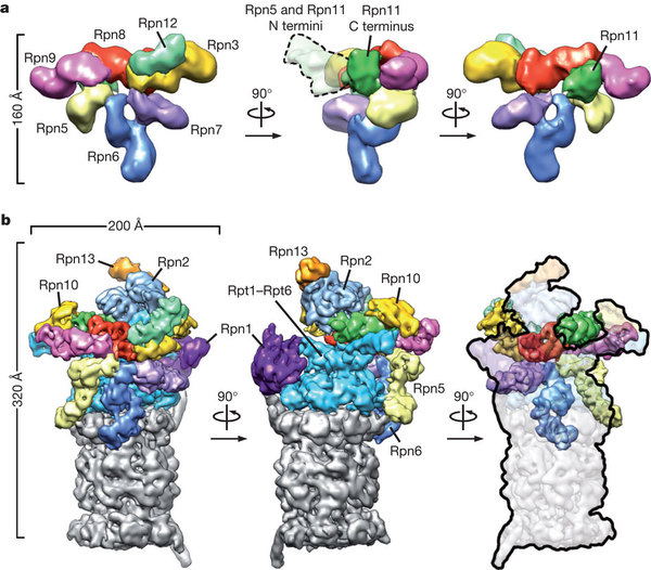 Complete subunit architecture of the proteasome regulatory.