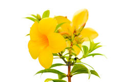 Allamanda Golden Trumpet Stock Photography.