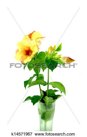 Picture of Allamanda or golden trumpet , beautiful yellow flower.