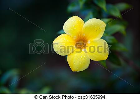 Stock Photographs of One yellow allamanda flower outdoors.