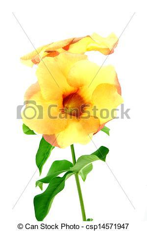 Stock Photo of Allamanda or golden trumpet , beautiful yellow.