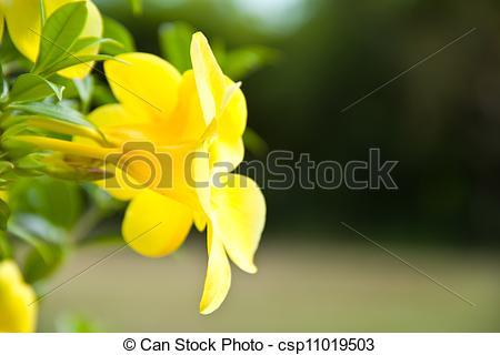 Stock Photography of Allamanda yellow flower csp11019503.