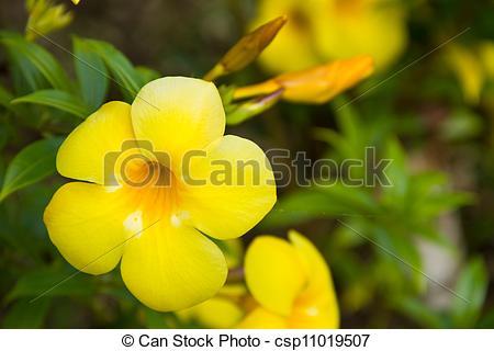 Stock Photography of Allamanda yellow flower csp11019507.