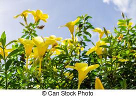 Stock Photo of Golden Trumpet flower or Allamanda cathartica in.