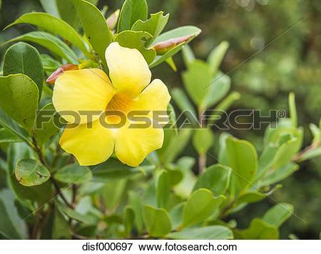 Picture of Mauritius, blossom of golden trumpet, Allamanda.