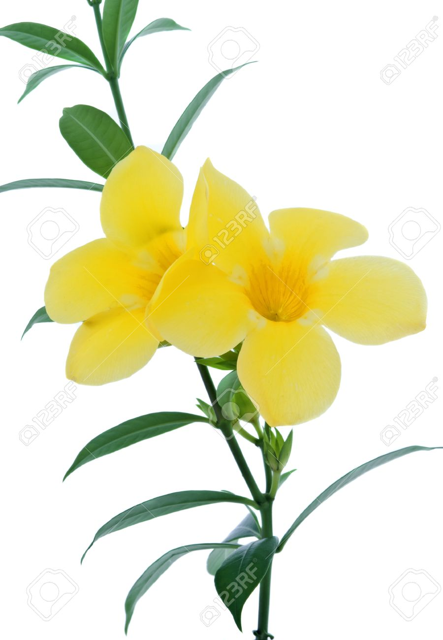 Allamanda Or Golden Trumpet , Beautiful Yellow Flower Isolated.