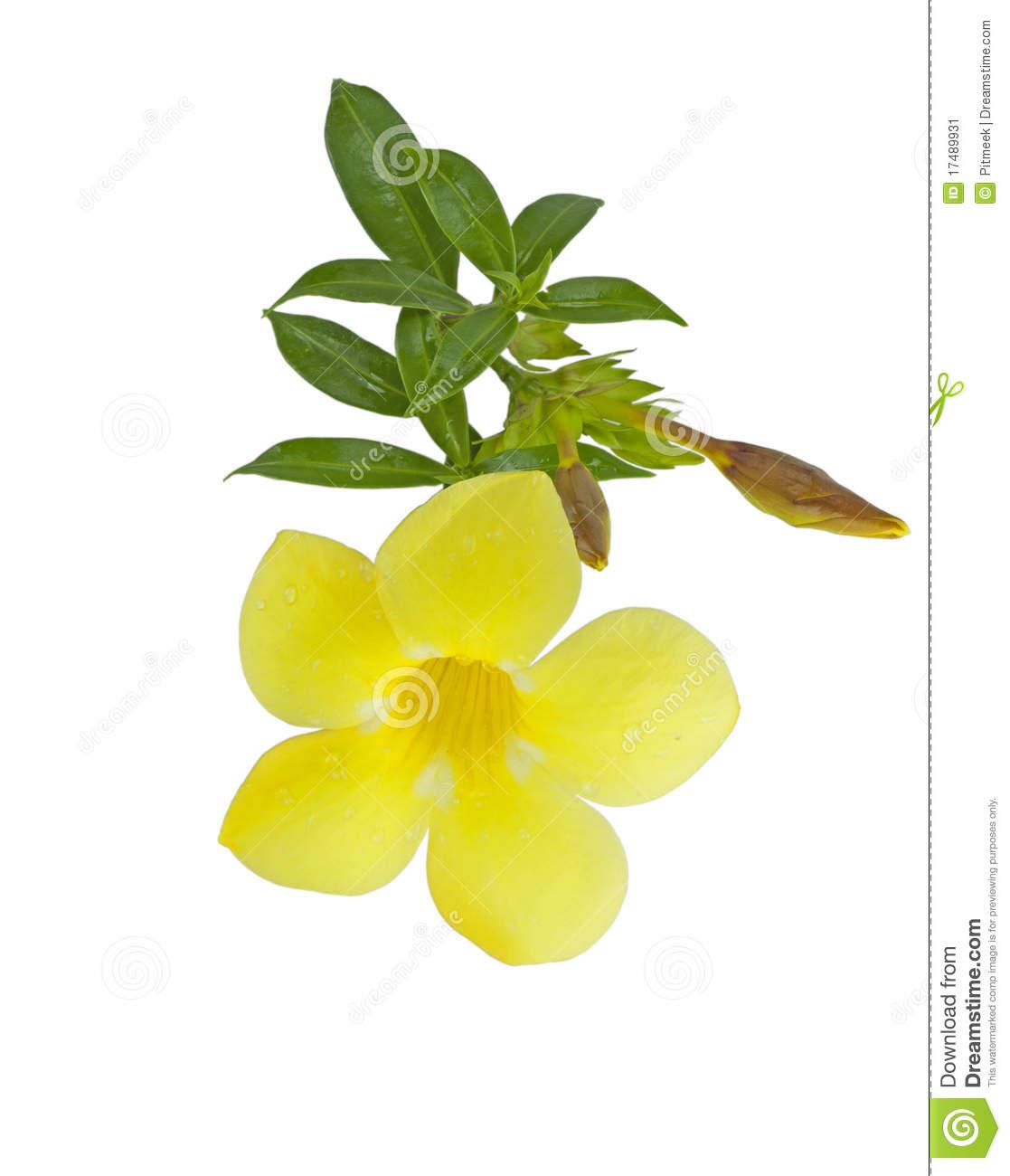 Yellow Allamanda Cathartic Flower Stock Image.