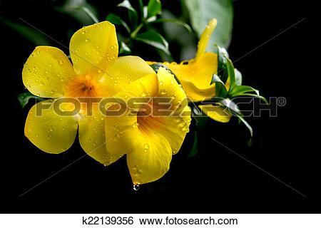 Stock Images of Yellow Allamanda after rain k22139356.