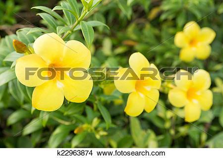 Stock Photo of Yellow allamanda flower k22963874.