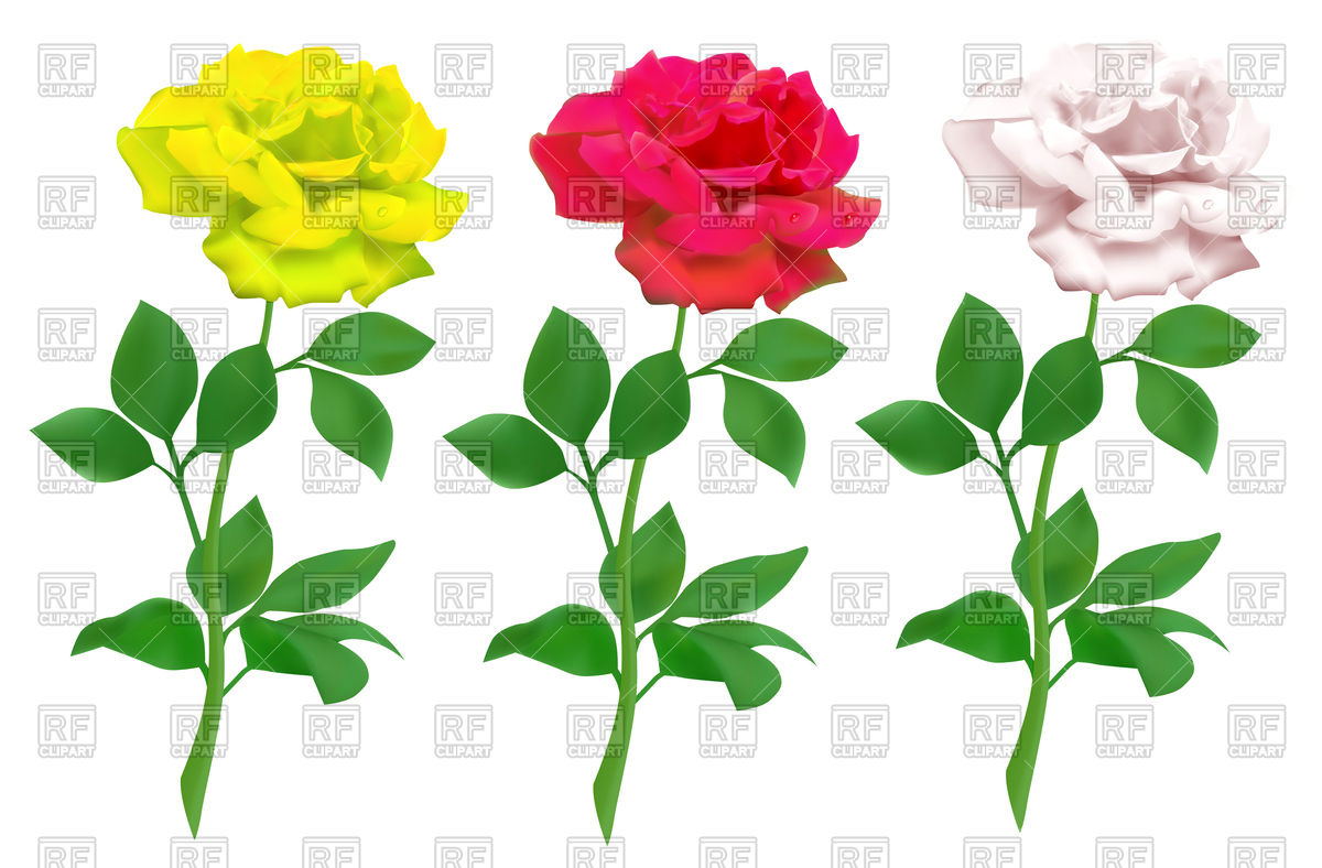 White and red rose clipart.