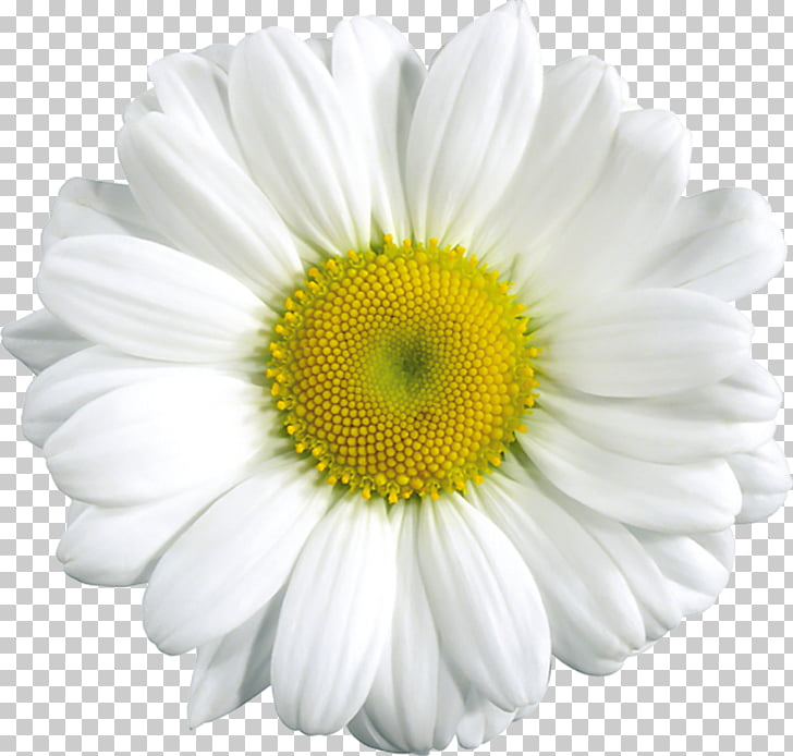 Common daisy , Daisy Flower s, white daisy flower PNG.