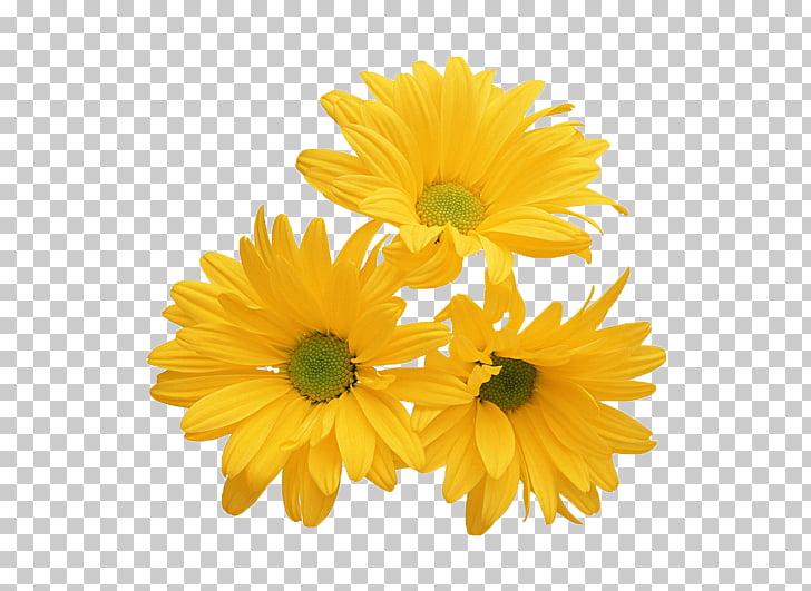 Chrysanthemum Yellow Flower White Stock photography, Yellow.